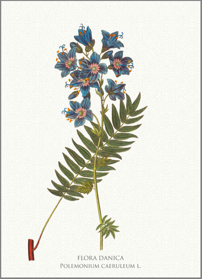 Koustrup & Co. Blank Greeting Card, Flora Danica, Jacob's Ladder